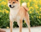 高品质八公柴犬小狗 纯血统日系正宗精品柴犬幼犬