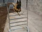 南部三哥工作犬培训基地对外培训各种犬只