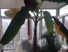 转让--香蕉树盆景