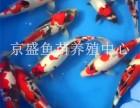 批發北京觀賞魚(錦鯉 紅鯽魚)淡水魚養殖魚 放生魚
