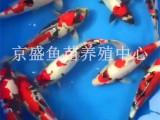 批发北京观赏鱼 锦鲤 红鲫鱼 淡水鱼养殖鱼 放生鱼