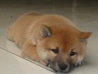苏州柴犬价格 柴犬图片 柴犬好养吗 柴犬吃什么狗粮