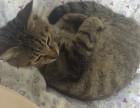 寻靠谱主子领养猫猫