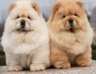 纯种血统松狮幼犬出售 宠物狗狗 憨厚老实赛季松狮犬活体包健康