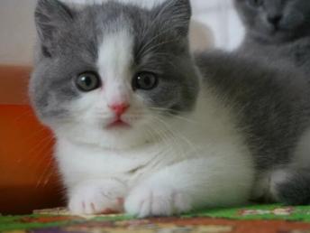 英短 美短 2到3個月貓咪出售 包純種健康