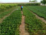 小白草莓苗一亩地产量多少斤 种苗品种全 脱毒草莓苗