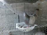 沾化哪里有卖肉鸽种鸽青年鸽幼鸽的价格多少红卡奴落地王银羽王白