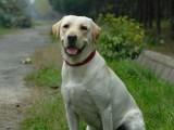 拉布拉多幼犬均有出售 纯种健康有保障