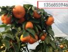 柑桔联系|柑桔代办