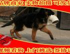 纯种德国牧羊犬幼犬多窝出售公母均有 签保障协议
