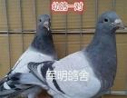 出售信鸽,成绩赛鸽,种鸽,幼鸽