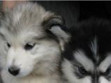 犬舍繁殖多品种 萨摩耶、博美、警犬拉布拉多、阿拉
