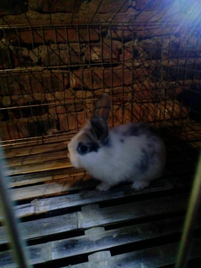 自家养的兔子,干净卫生,本地自提宠物兔,长不大!