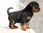 罗威纳专业繁育罗威纳犬舍 品质保障