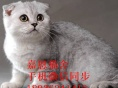 珠海哪里有卖渐层猫价格多少嘉恩宠物出售宠物猫都已做好疫苗