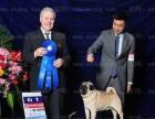 中国登陆冠军巴哥后代血统证书可查询