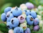 温州瑞安茂丰蓝莓采摘特价门票 98元 可带走2斤