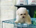 纯种比熊幼犬出售 疫苗驱虫已做 全国送货上门