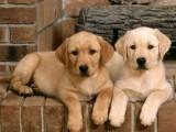 杭州那里有拉布拉多犬卖 杭州拉布拉多犬价格 拉布拉多犬多少钱