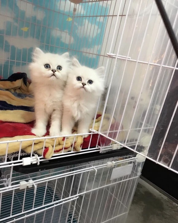 温州哪里有金吉拉猫卖 猫舍直销 健康活泼 包纯种 保养活
