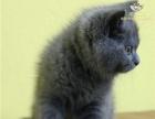 当天购买包邮 英短幼猫纯种英国短毛猫宠物英短蓝猫