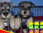 品质保终身—健康保三年—纯种雪纳瑞幼犬—可送货上门