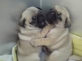 厦门哪有巴哥犬卖 厦门巴哥犬价格 厦门巴哥犬多少钱
