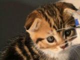 自家的加白美短生的小猫