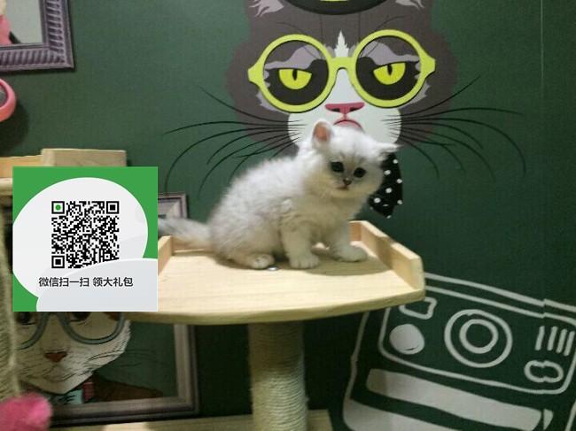 镇江哪里有宠物店 镇江哪里卖宠物猫便宜 镇江金吉拉价格