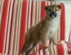 青岛日系柴犬多少钱 青岛赤色柴犬的价格是多少
