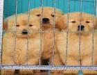 重庆专业狗场繁殖 英美黄金大头 金毛寻回犬 签协议