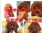 郑州大型狗场出售泰,迪狗茶杯犬长不大包健康签协议
