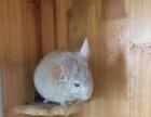 低价出三只个人养的成年猫,DDMM都有