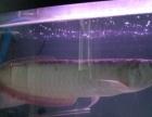 银龙鱼两条,配套一米五鱼缸一起出售