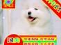常年出售纯种健康精品萨摩耶犬专业缔造完美品质签协议