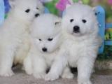 广州 出售纯种萨摩耶幼犬 可签协议质保健康