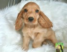 专业繁殖纯种美可卡幼犬赛级品相毛色发亮顺保健康