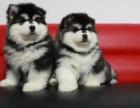 西安宠物狗狗出售纯种幼犬,阿拉斯加,血统纯正,保证健康