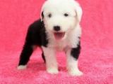 银川纯种古代牧羊犬多少钱在银川什么地方能买到纯种古代牧羊犬