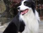 北京直销精品幼犬、品质保证,血统纯正,欢迎上门挑选狗狗