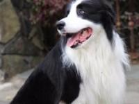 福州常年出售高品宠物犬幼犬,保健康签协议,品种齐全