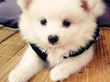 荆州哪里有卖银狐犬 荆州银狐犬多少钱 荆州银狐犬图片