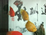 出售精品台湾红财神和黄金财神鹦鹉鱼