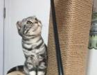 出售折耳猫,美国短毛银色虎斑