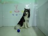 珠海帕比宠物狗狗寄养 狗狗训练