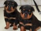 极品罗威纳幼犬 疫苗齐全 三年质保协议