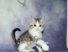 出售美短加白幼猫多只可以上门挑选保证养活