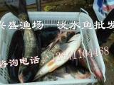 大同市鱼苗供应商批发草鱼鲤鱼鲫鱼青鱼鲂鱼锦鲤红鲫鱼鳙鱼