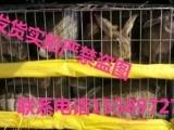 银川一只杂交野兔多少钱/肉兔种兔价格