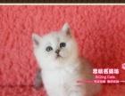 漂亮可爱的英短银渐层小帅哥1号--《思晴名猫坊》
